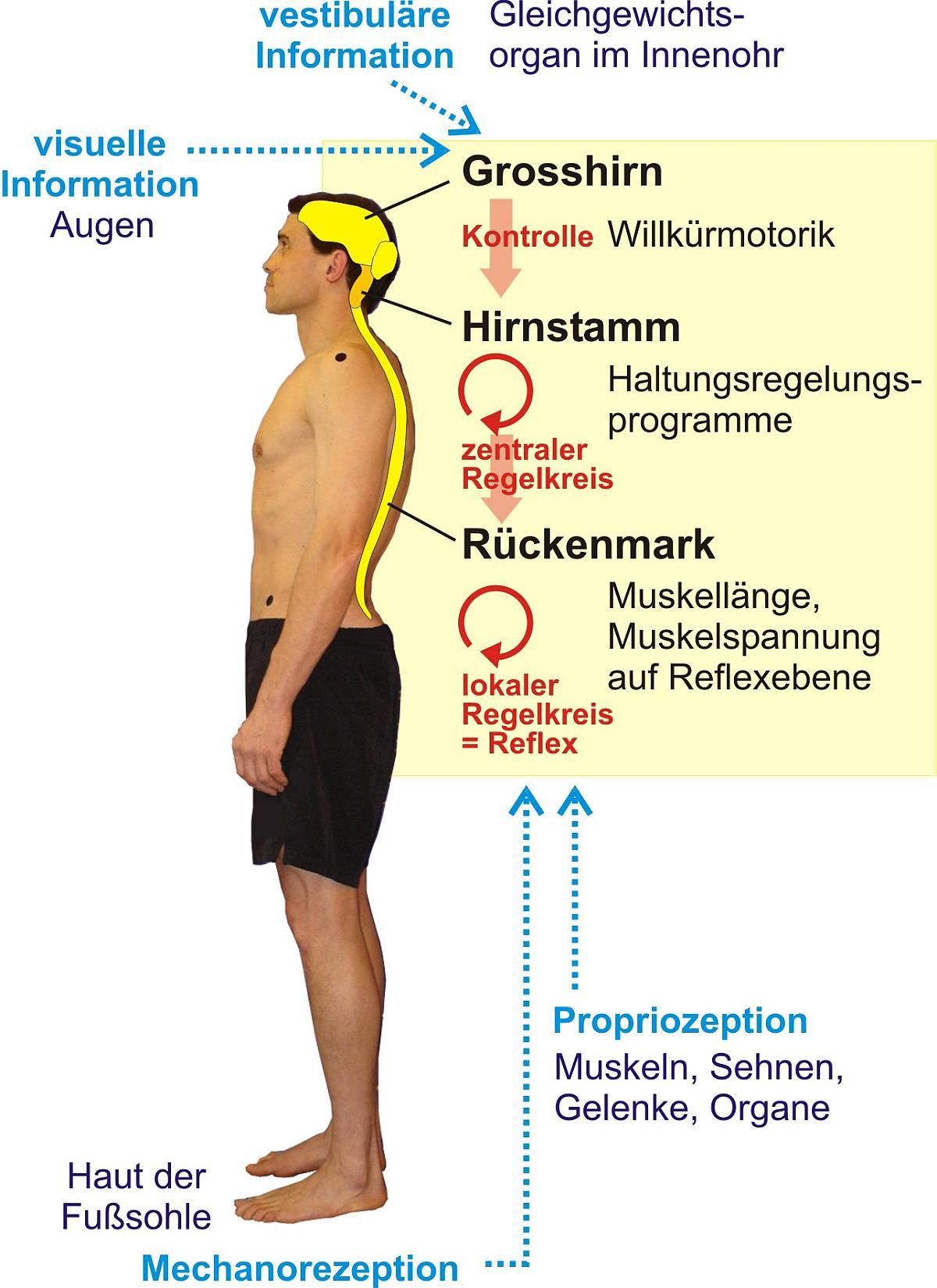 Muskeln Verkürzt